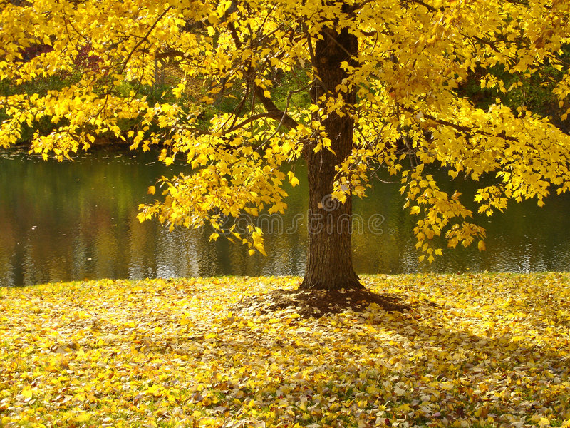 Tree Along River in Fall. A tree along the river, dropping it's leaves in autumn royalty free stock photo