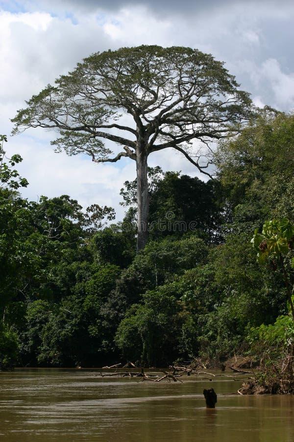 Tree in Amazonia royalty free stock photo