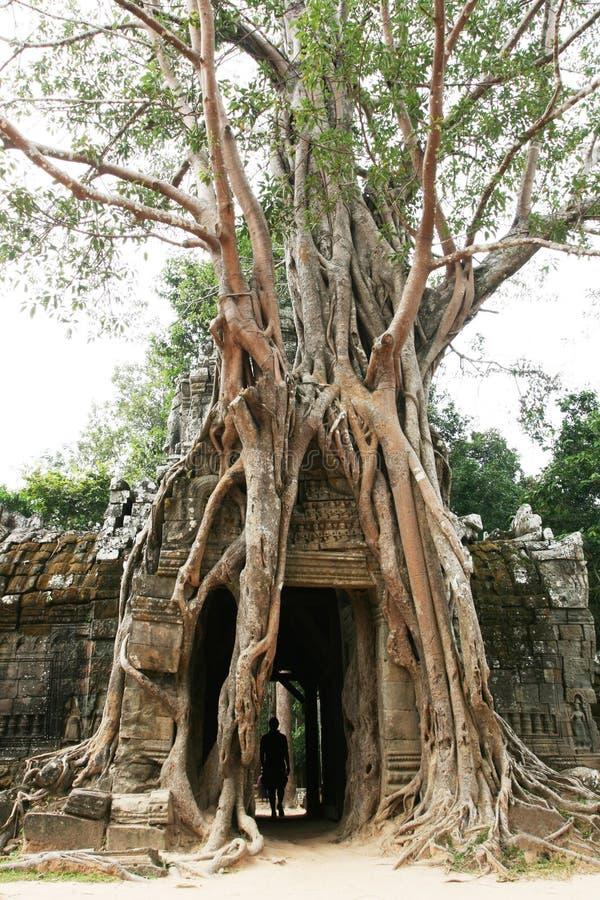 Tree on Angkor ruins stock photos