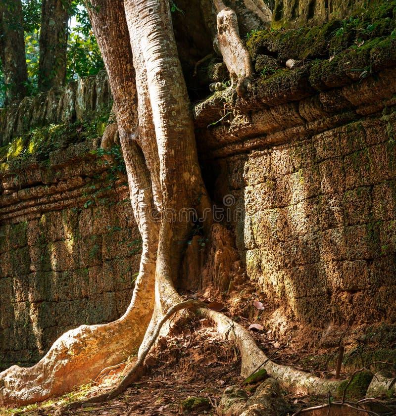 Tree in Angkor stock photos
