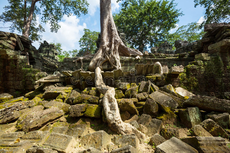 Tree in Angkor royalty free stock photography