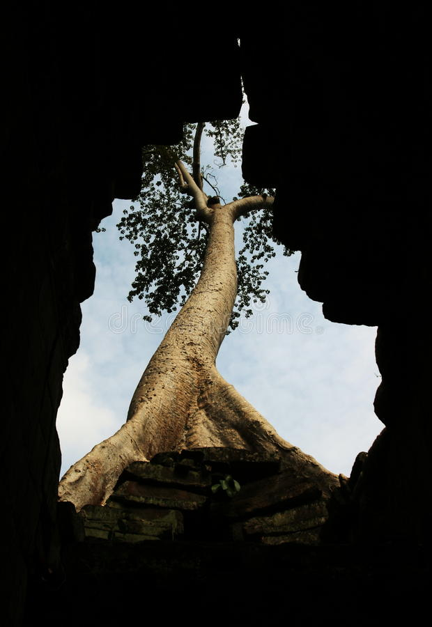 Tree in Angkor royalty free stock images