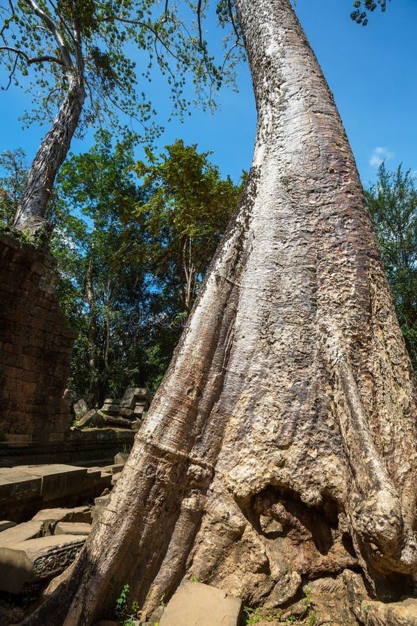 Tree in Angkor stock photo