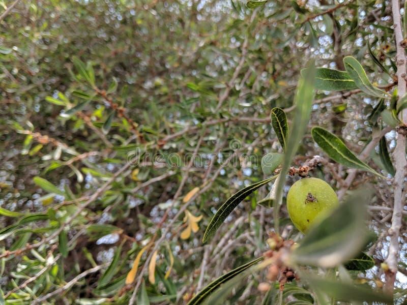 Tree Aran. Argan stock photos