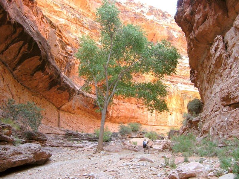 Tree in Arizona canyon stock photo