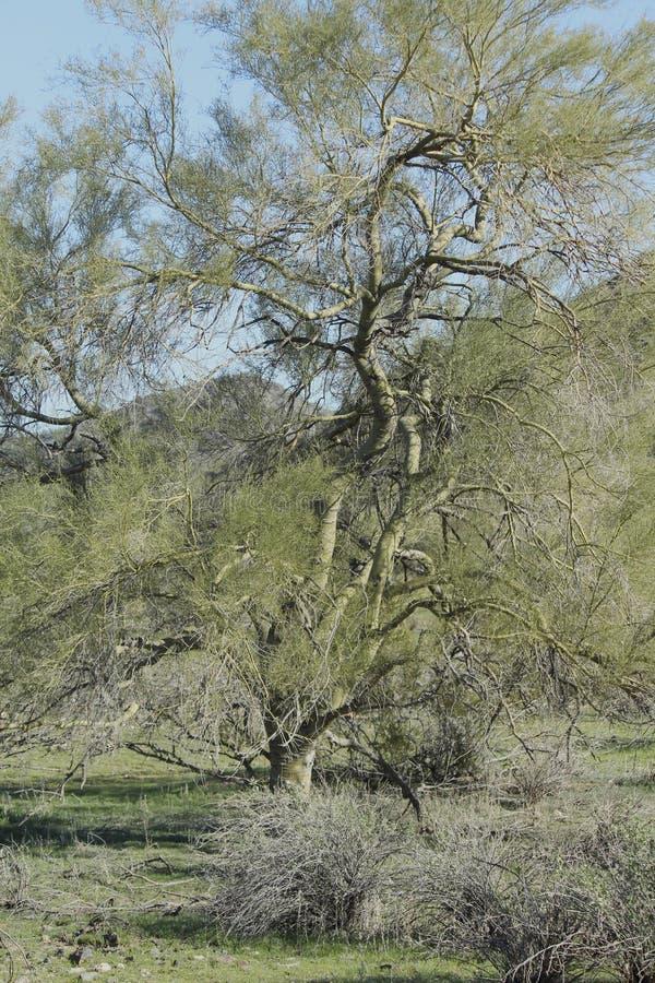 Download Tree Arizona desert stock photo. Image of desert, blue - 36676104