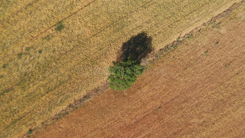 Tree as a reference for different cereal crops drone photo royalty free stock photos