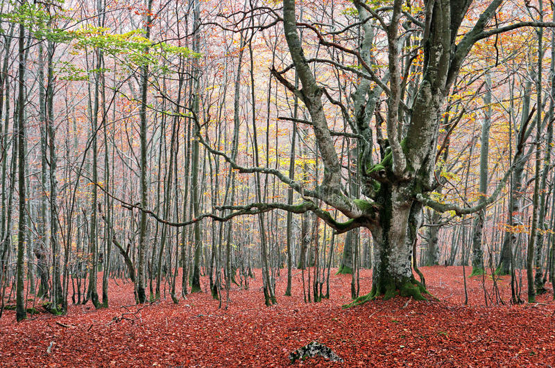 Download Tree In Autumn Forest Stock Photos - Image: 33696413