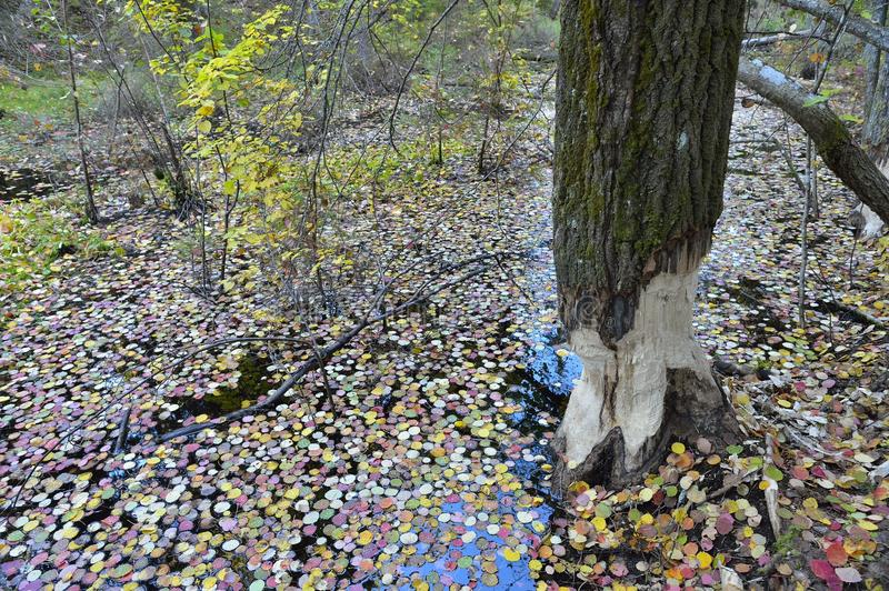 Tree in autumn forest gnawed by beavers royalty free stock photos