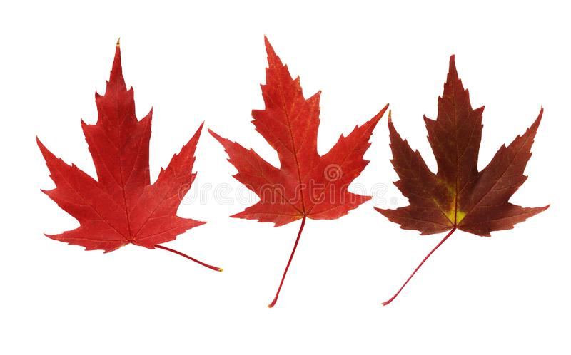 Tree autumnal maple leaves royalty free stock images