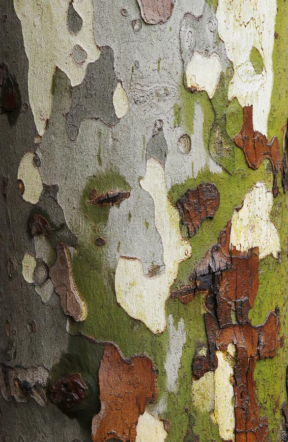 Tree background texture. Wet platan bark. stock images