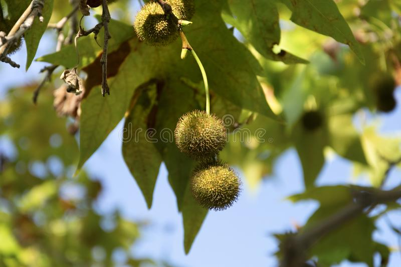 Tree balls that produce allergy. royalty free stock images
