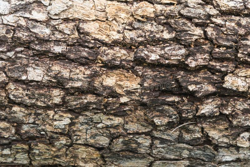 Tree bark of Burmese Padauk. Tree bark of Burmese Padauk used as a background texture royalty free stock images