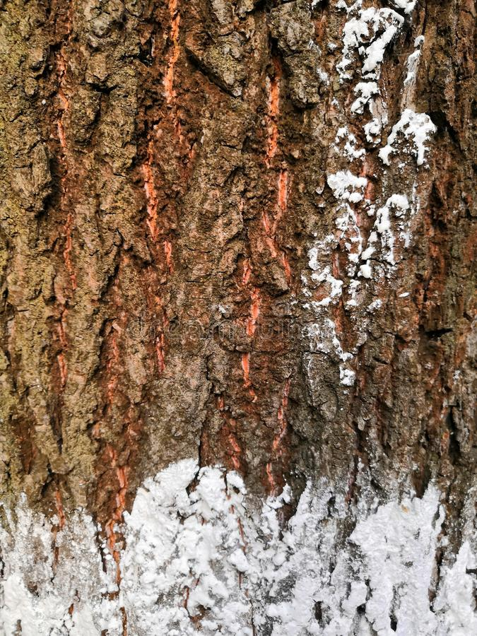 Tree bark closeup with white snow and green moss. Background tree bark with lichen growing vertically. Backgrounds of a natural origin of bark of trees, poplar royalty free stock image