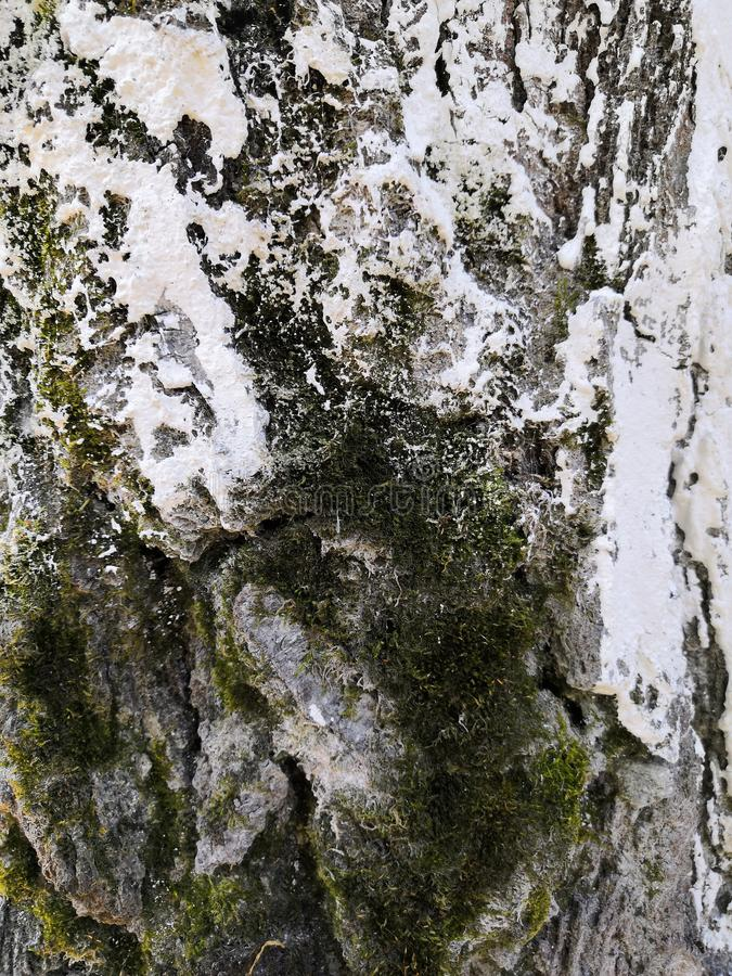 Tree bark closeup with white snow and green moss. Background tree bark with lichen growing vertically. Backgrounds of a natural origin of bark of trees, poplar stock photography