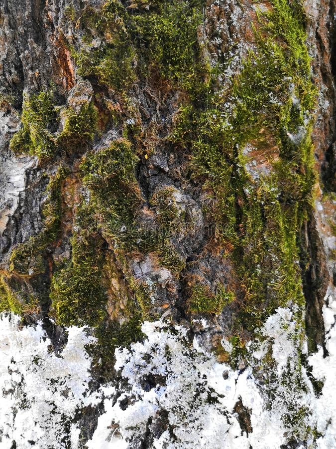 Tree bark closeup with white snow and green moss. Background tree bark with lichen growing vertically. Backgrounds of a natural origin of bark of trees, poplar royalty free stock photography
