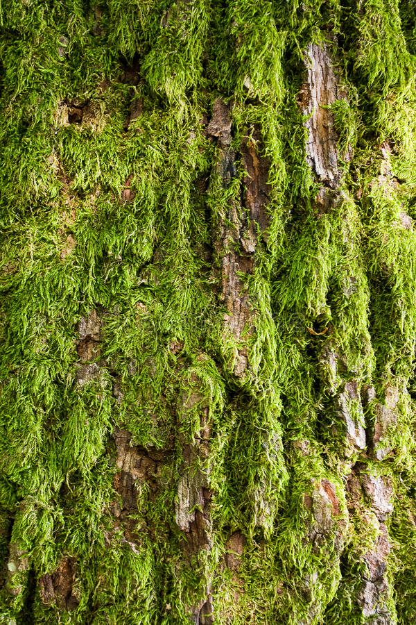 10 Ways To Decorate With Green Moss: Tree Bark Covered With Green Moss Stock Image