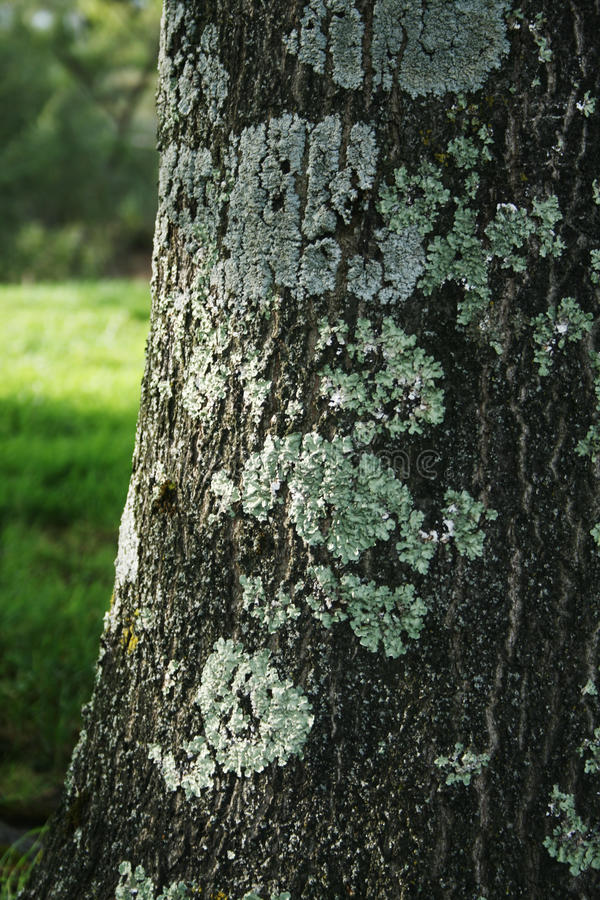 Tree bark with fungus royalty free stock images