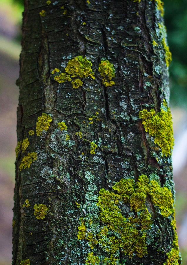 Tree bark with golden moss. Old bark of a tree irrigated with yellow and green moss stock photos