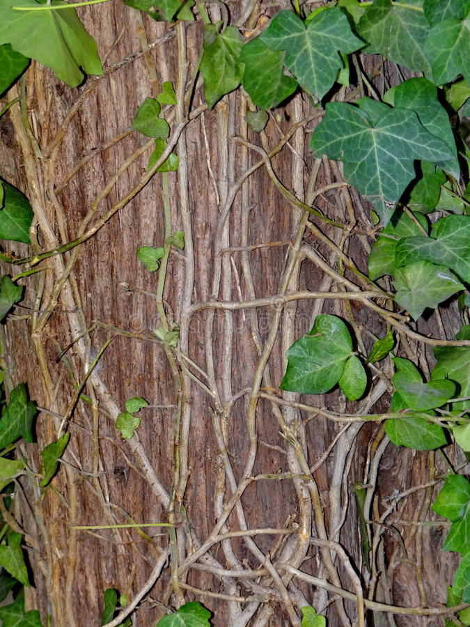 Tree bark with ivy stock images