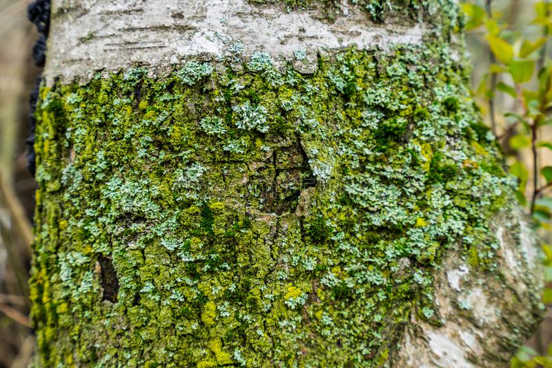 Tree Bark with Lichensa detail of a tree trunk covered with lichens and moss stock images