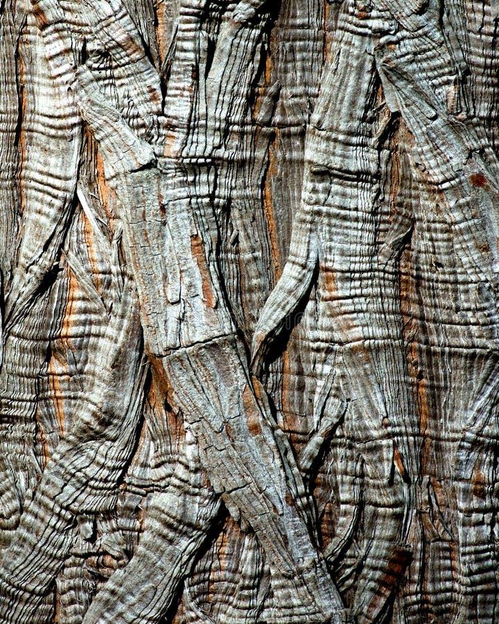 Tree Bark - Montezuma Cypress royalty free stock image