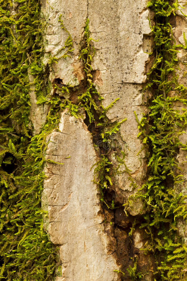 Download Tree Bark Moss stock photo. Image of close, wood, plant - 24082760