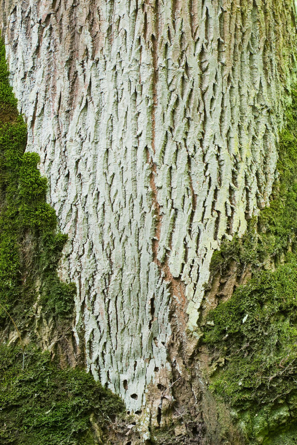 Download Tree bark with moss stock photo. Image of frame, overgrown - 39502096
