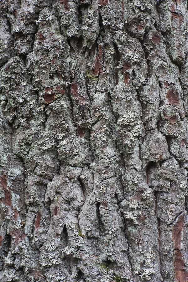 Tree bark of the old and big Oak tree texture or background. stock image