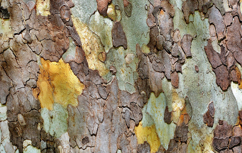 Texture of platanus tree bark royalty free stock photography