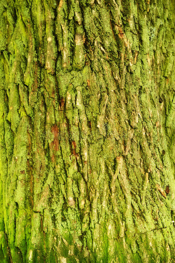 Tree bark texture. In close-up royalty free stock image