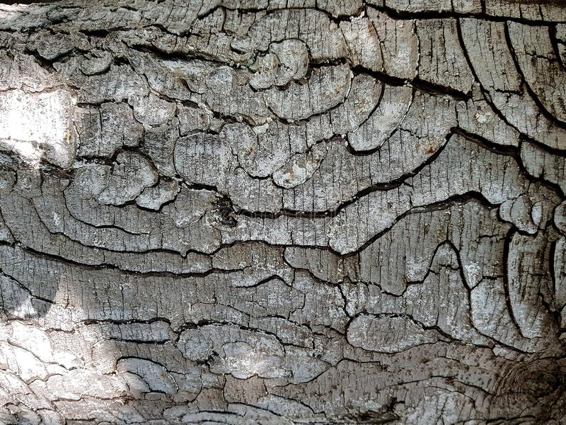 Tree bark texture background . Texture - a bark of an old royalty free stock photos