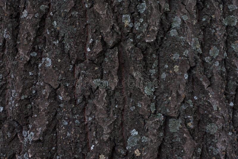 Tree bark texture. Dark tree bark with moss, texture. Wood texture background. Natural backdrop. Spring season. Tree bark texture. Dark tree bark with moss stock photos