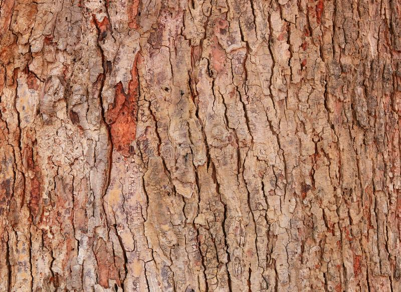 Tree bark texture pattern. wood rind for background.  royalty free stock image