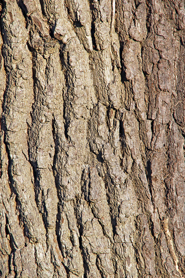 Tree bark texture. Photo of a mature tree trunk bark ideal for background and text etc stock images