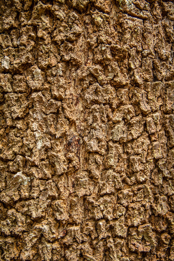 Tree bark texture. Teak,teak tree is withstand sun rain, And resistant to the environment,View from the surface of it, you know royalty free stock photos