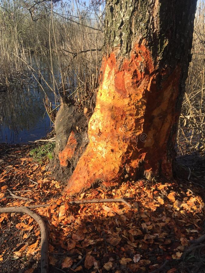 The tree after the beaver works. Nature, animal, autumn, background, environment, forest, grass, green, landscape, natural, outdoor, park, wild, wildlife, wood stock images