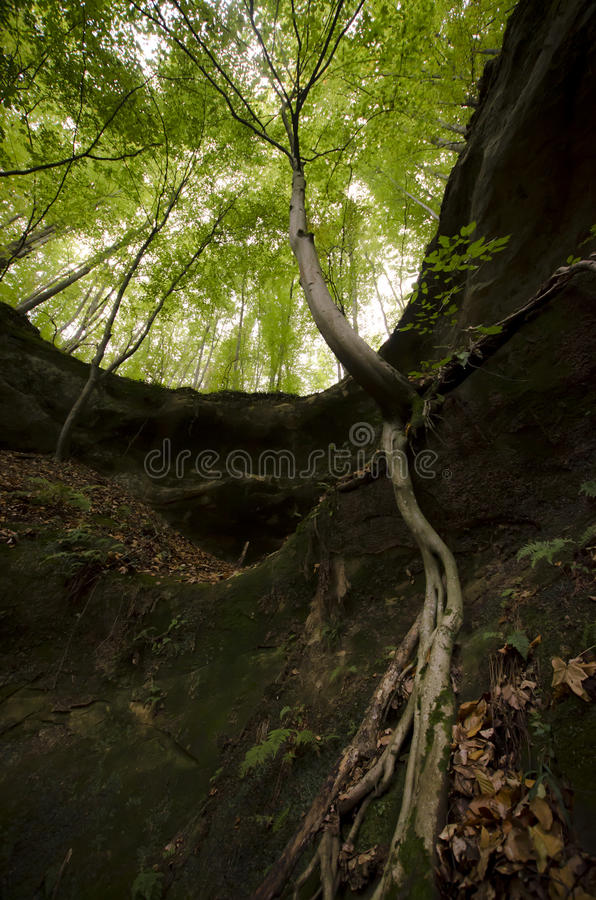 Tree with big roots hanging on cliff in a rainforest stock image