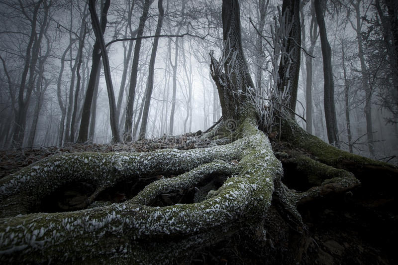 Tree with big roots in winter in mysterious forest with fog royalty free stock photo