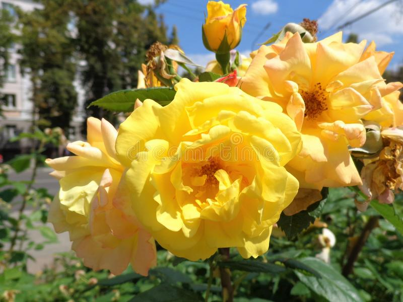 Big yellow roses with bud in the street flowerbed with contrast lightning, close-up. royalty free stock images