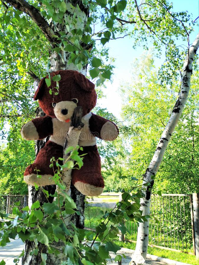 A big Teddy bear. Left on the tree birch. The toy is old, dirty and raw. stock photos