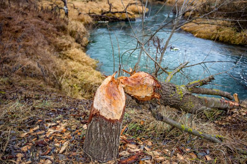 A tree bitten by beavers. Outdoor royalty free stock images