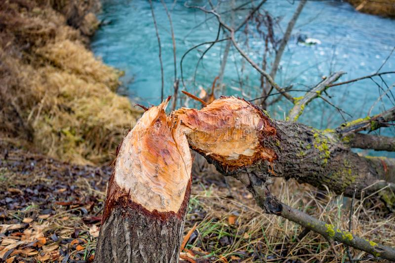 A tree bitten by beavers. Outdoor royalty free stock photos