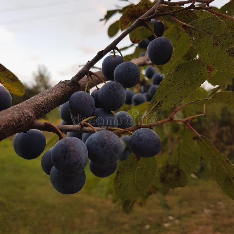 Tree blackrhorn stock image