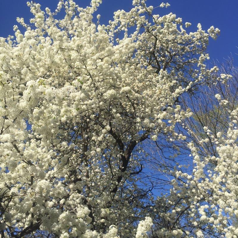Tree in bloom stock image
