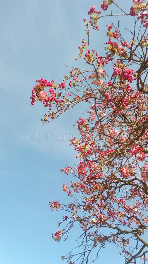 Tree in bloom. royalty free stock image