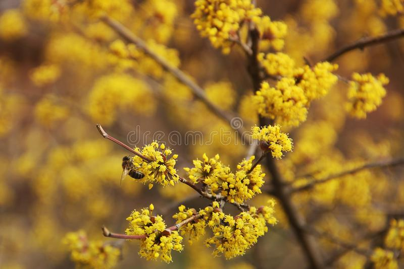 A tree is blooming. Dogwood. Wasp on a tree royalty free stock photos