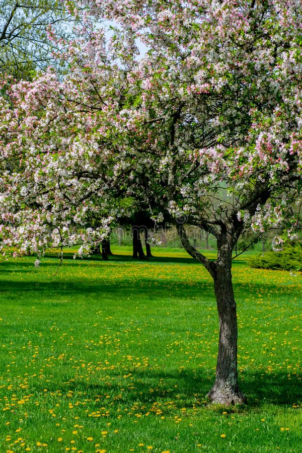 Tree, Blossom, Spring, Flora royalty free stock photography