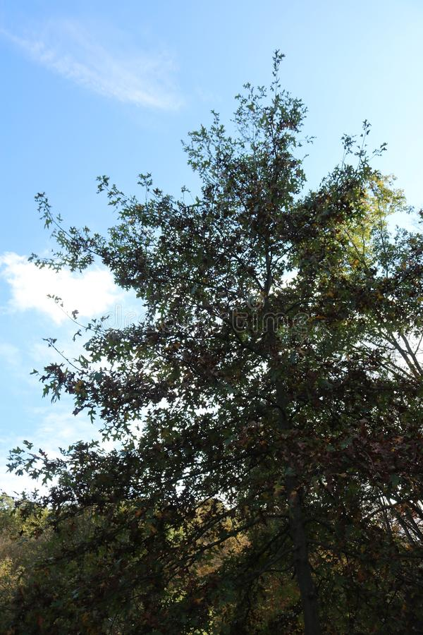 Tree with blue sky. View upward at a tree extending taller than other trees and vegetation around it, with a blue sky background stock photos