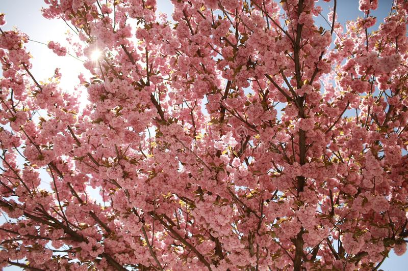Tree of bouquet of sakura. Daisy flower, flowering daisy flowers in meadow. Cherry blossom. Spring flowers stock images